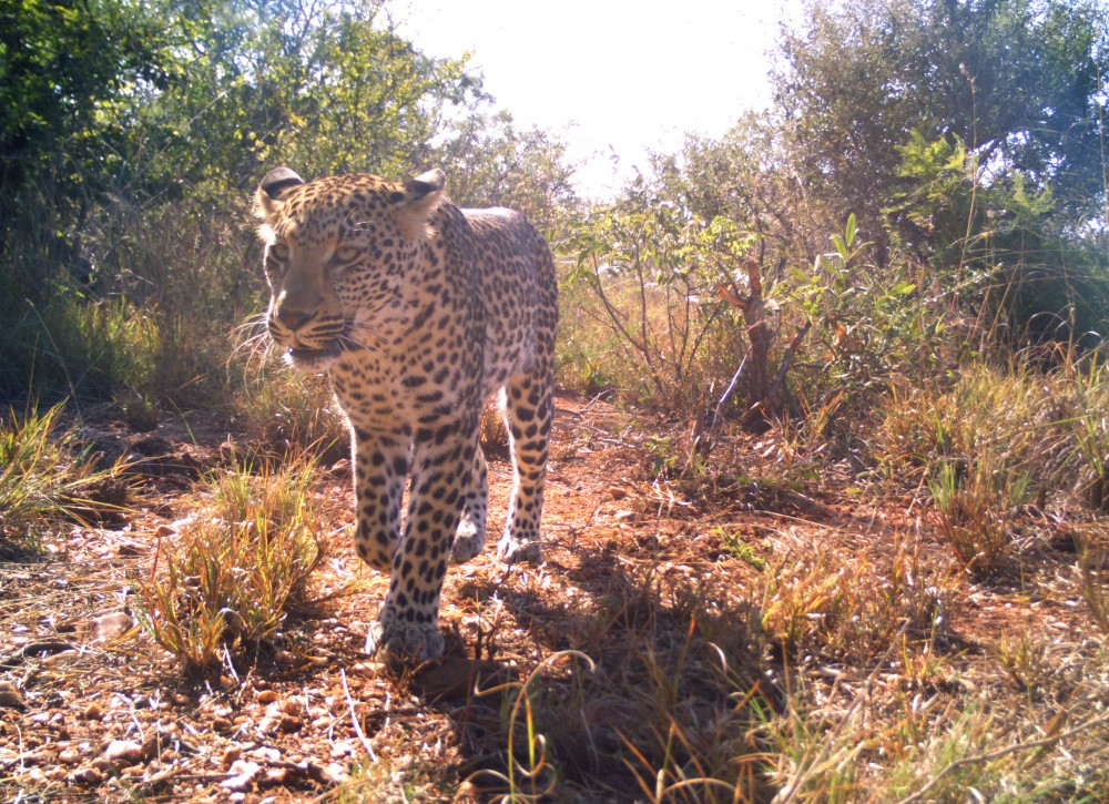 Launched in 2010 through a partnership between two University graduate students and the University Lion Research Center, the Snapshot Safari program utilizes camera traps and public input to identify animals from Serengeti Park, Tanzania.