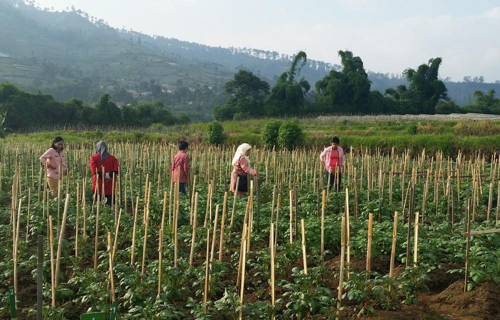 A potato research field plot in Bandung, Indonesia.