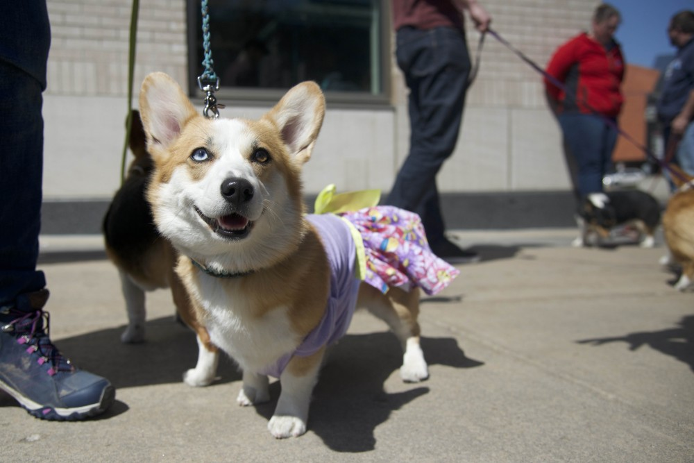 Mr. Bubble Butt poses for a picture at the Corgi Racing Society's Pet a Corgi event at Yudof Hall on Sunday, April 29.