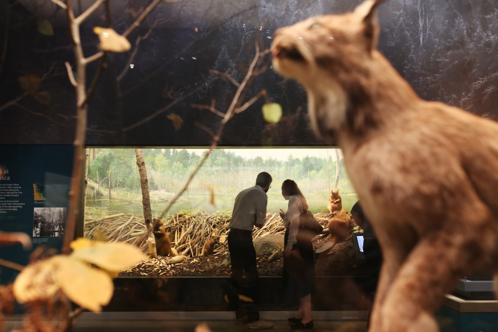Lillian Erickson and Thomas Erickson look through the glass into a taxidermy beaver at the Itasca State Park diorama.