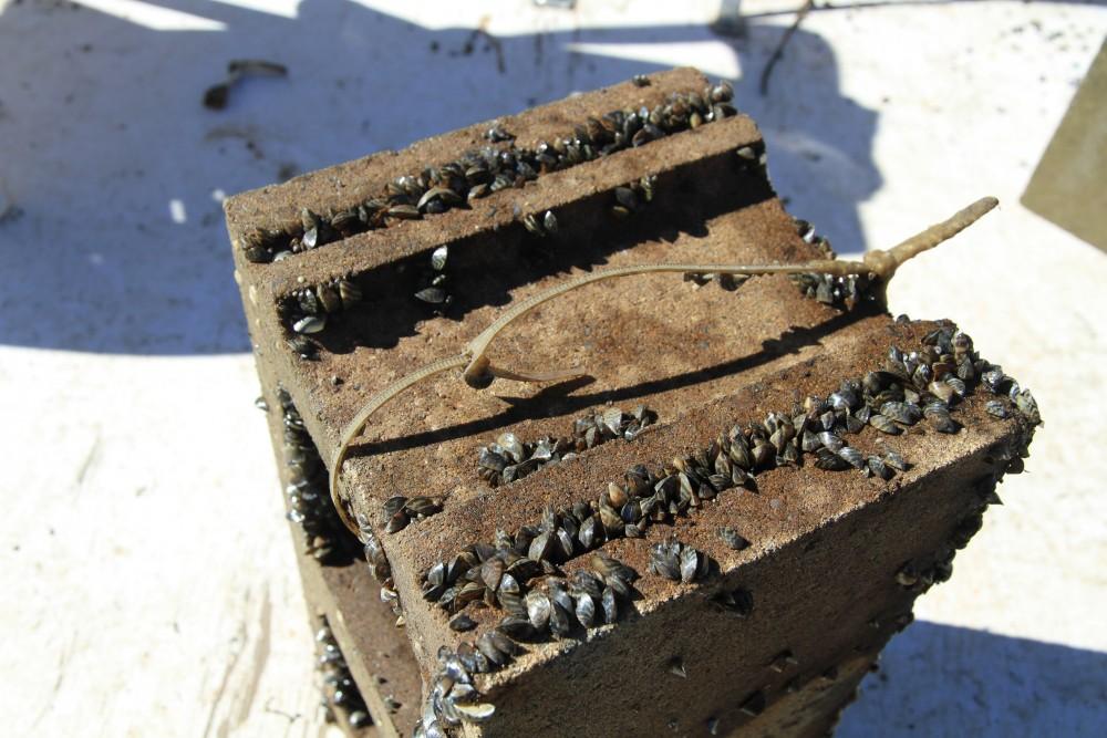 Zebra mussels inhabit a cinder block.