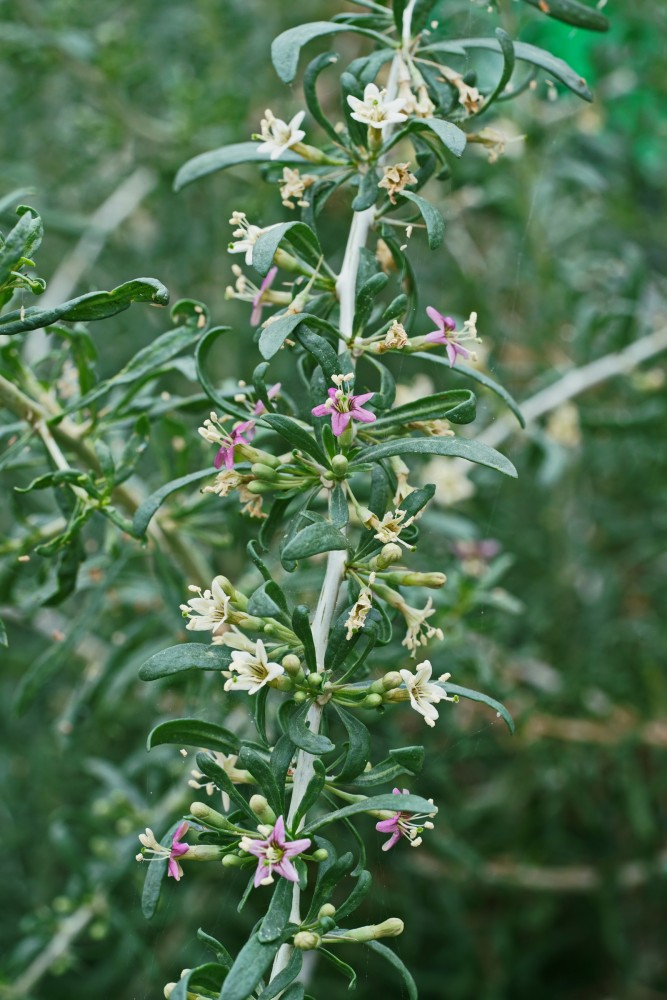 A small black goji berry plant flowers in a greenhouse.
