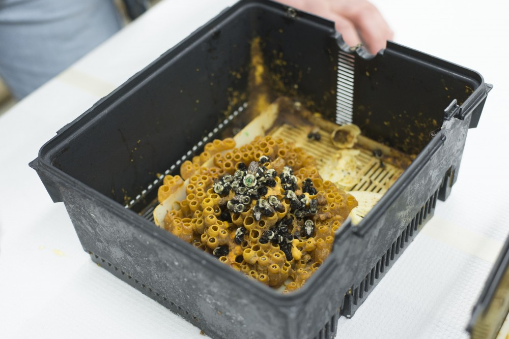 A frozen colony of bumblebees sits on a table in Dr. Vera Krischik's lab in Hodson Hall on Tuesday, March 26. The queen bee is seen on top, marked with a green dot. Bumblebee queens are solely responsible for starting a colony, making them more susceptible to the affects of pesticides like neonicotinoids.