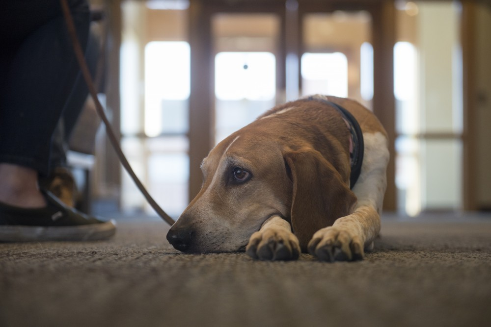 Kajsa, who suffers from Canine Atopic Dermatitis, a chronic allergic skin condition, lays on the floor at the Ben Pomeroy Student-Alumni Learning Center on Friday, March 29. Her owner, Helena Montin, a second year vet student, says,