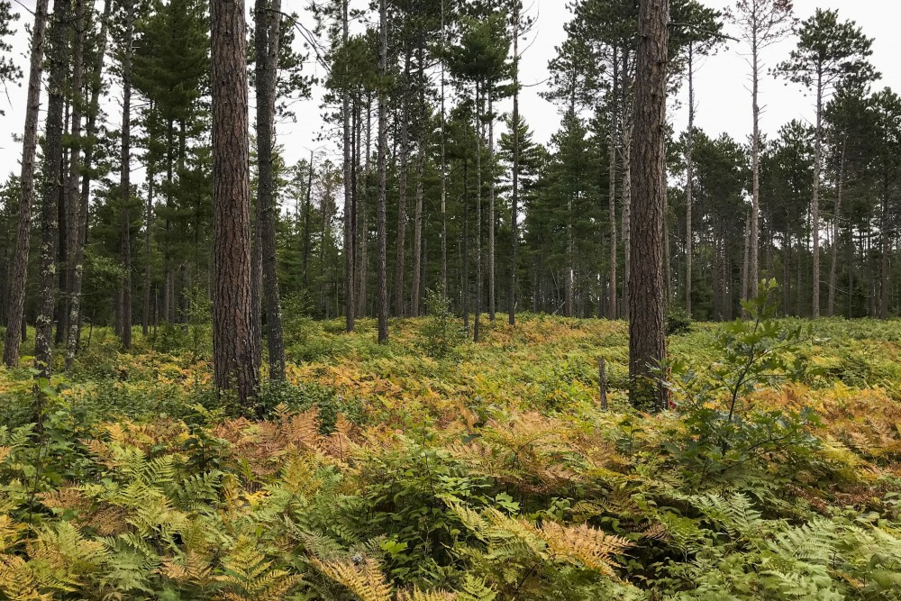 Trees stand at the Cutfoot Experimental Forest on Saturday, Sept. 7.