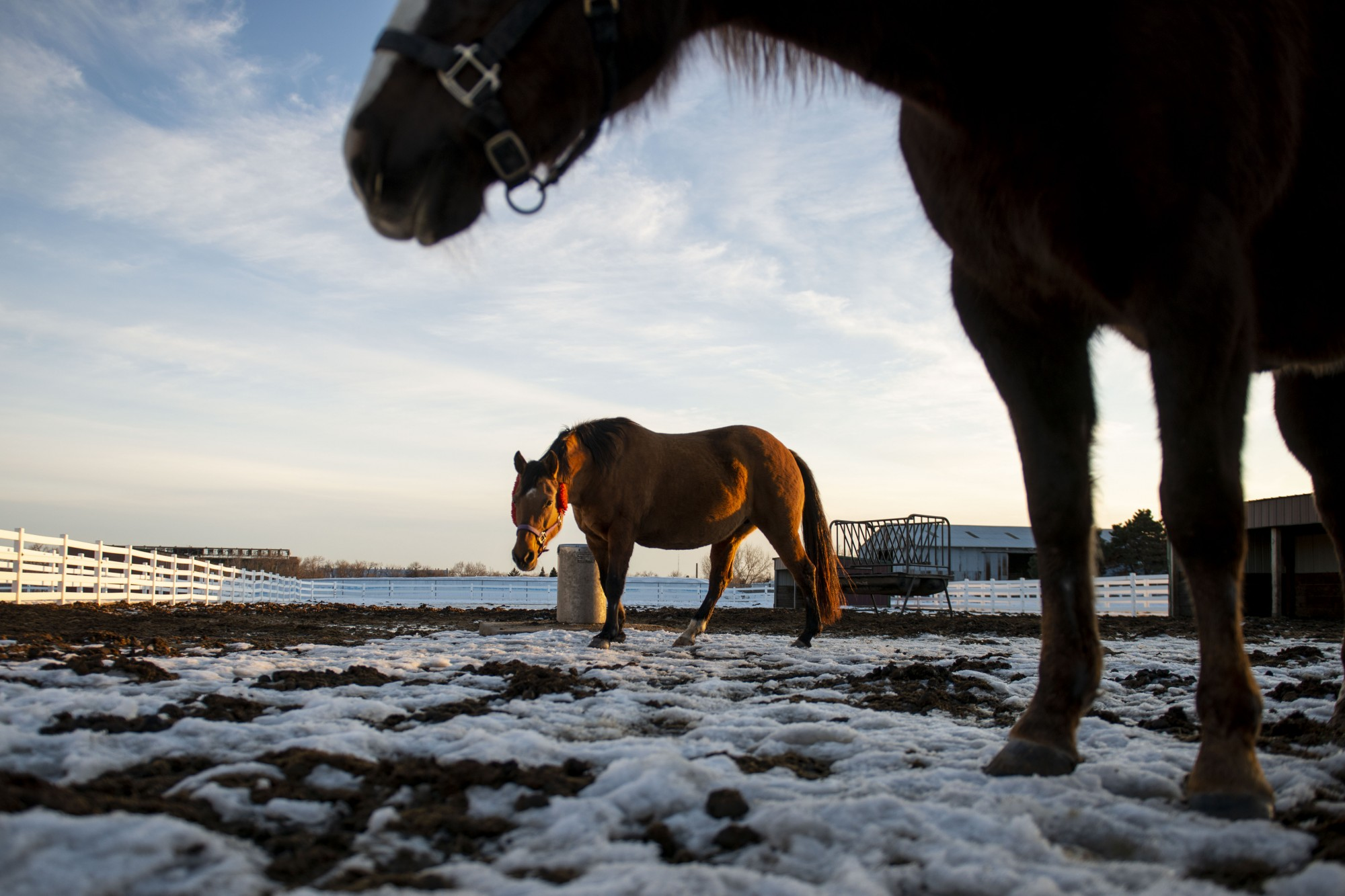 Horses walk about their enclosure at the Leatherdale Equine Center near the St. Paul campus on Monday, Feb. 24.