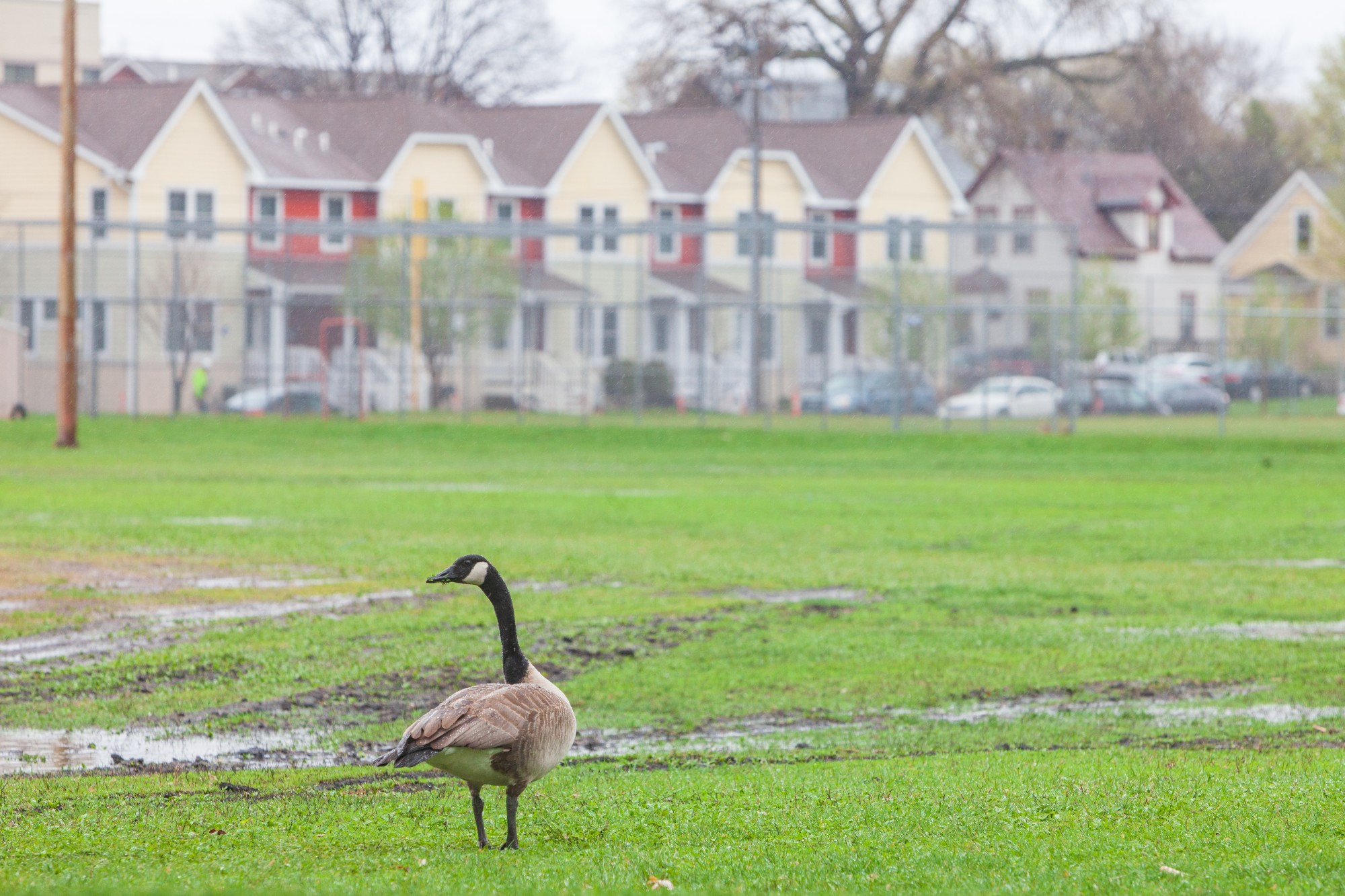 A lone goose wanders Van Cleve Park on Tuesday, April 28 2020.