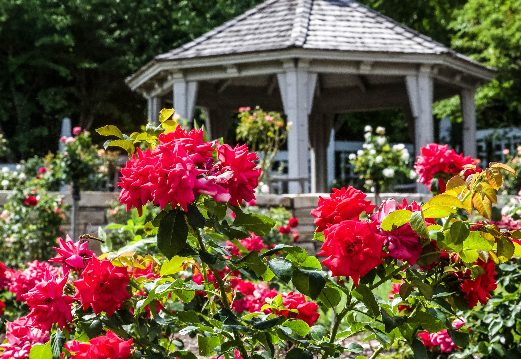 Red roses bloom in the Palma J. Wilson Rose Garden at the Minnesota Landscape Arboretum on Monday, July 13.