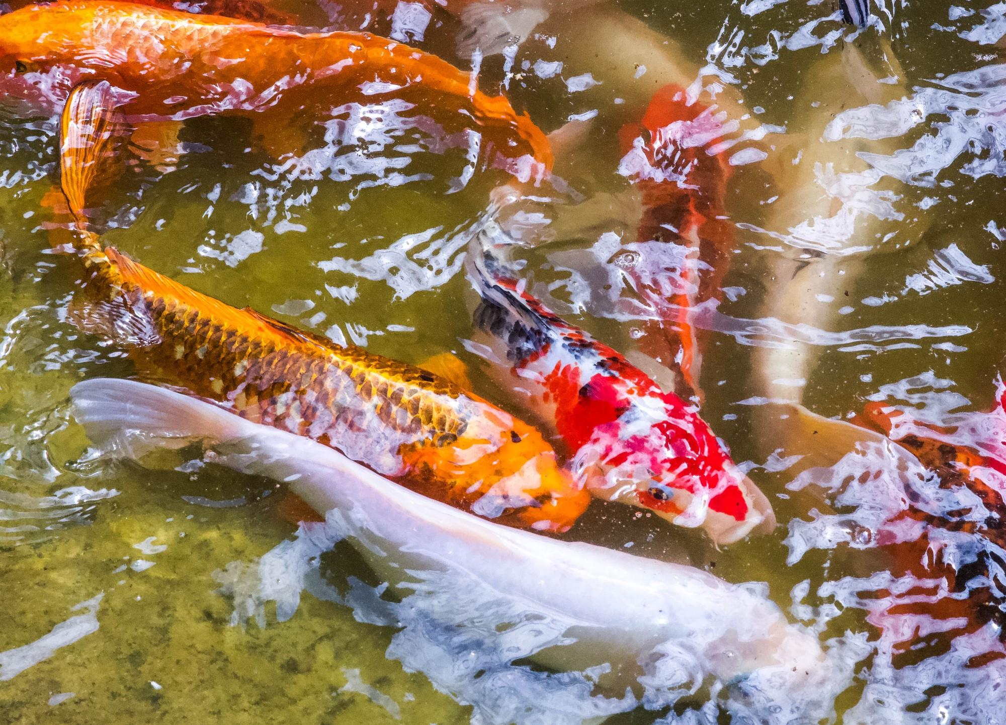 Koi fish swim in a pond near the Woodland Azalea Garden at the Minnesota Landscape Arboretum in Chaska on Monday, July 13.