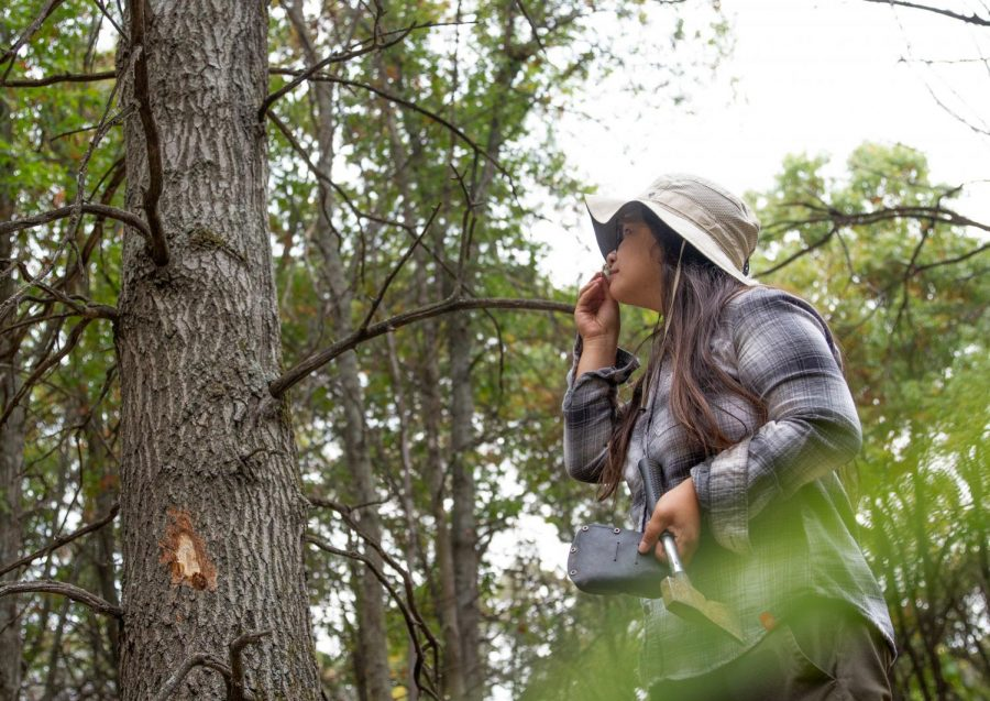 "University of Minnesota Researcher Cathleen Lapadat smells a piece of bark from a Red Oak within Cedar Creek Ecosystem Science Reserve in Bethel, Minn. on Wednesday, Sept. 23. If a Red Oak is infected by Oak Wilt, the inner layers of bark have a ""sweet"" smell due to the fungal mats."