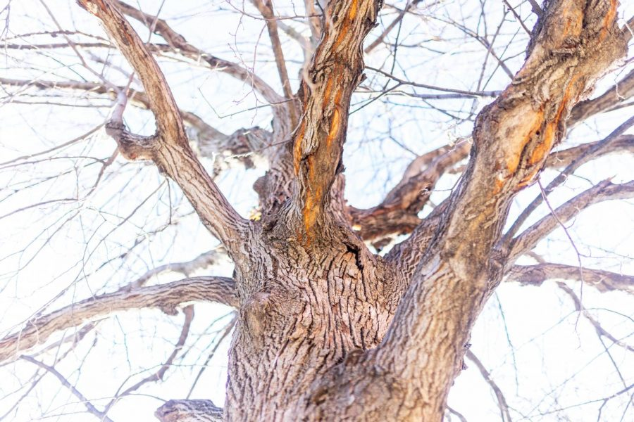 An+American+elm+tree+stands+tall+on+the+St+Paul+Campus+on+Tuesday%2C+Nov.+17th.+Researchers+are+attempting+to+stop+the+spread+of+Dutch+elm+disease+in+Minnesota%2C+where+these+trees+are+at+risk+of+being+cut+down.