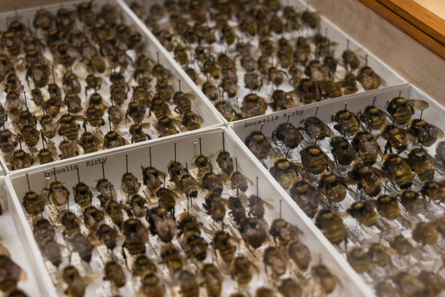 A case of Borealis Kirby bees, a type of bumble bee, is displayed as part of the Insect Collection for the University of Minnesota's Department of Entomology on Thursday, Nov. 19.